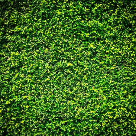 Green leaves wall texture with for background photo