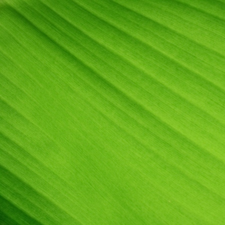 Banana leaf background with lines photo