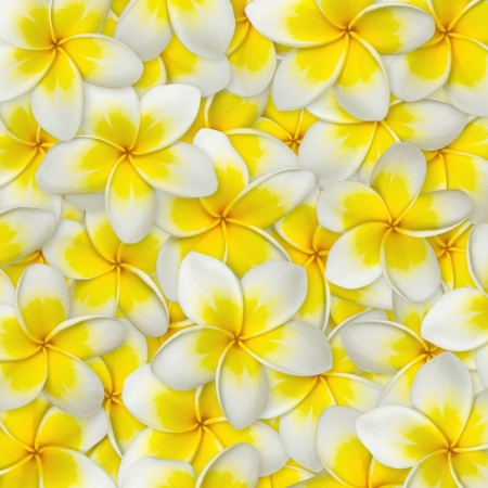 Frangipani flower yellow and white color for background photo