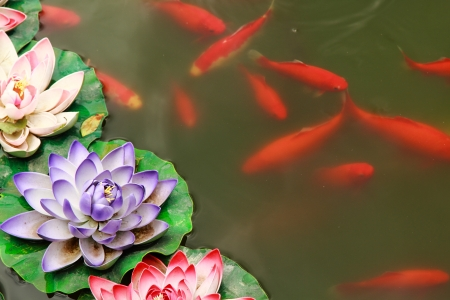 Fish koi in pond and lotus flower photo