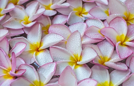 Pink frangipani flowers with on the water photo