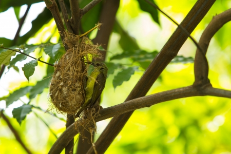 Bird (Olive-backed Sunbird) feeding new born chicks photo