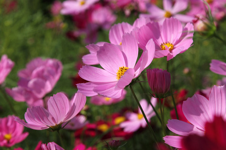 Close up pink cosmos flowers in the garden photo