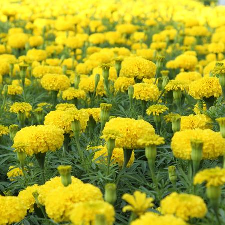 garden marigold: Yellow flower marigold field in the garden