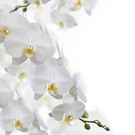 white flowers: White orchid flower isolated on white background Stock Photo