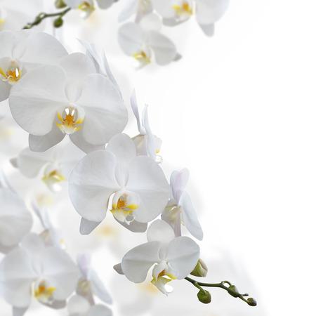 witte achtergrond: Witte orchidee bloem geïsoleerd op witte achtergrond Stockfoto