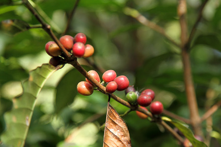kona: Coffee beans with branch on the tree