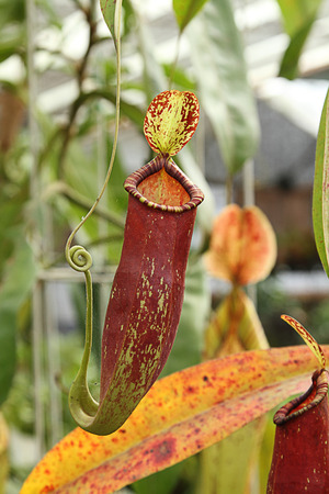 carnivorous: The pitcher plant Nepenthes species is a carnivorous plant