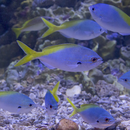 Fishs Caesio cuning (Red-bellied Fusilier) in the aquarium 스톡 콘텐츠