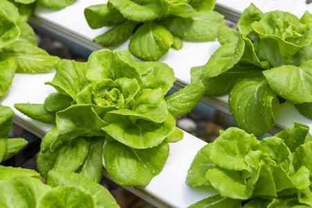 Butterhead Lettuce at organic hydroponic cultivation farm