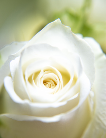 Beautiful of white rose with for background
