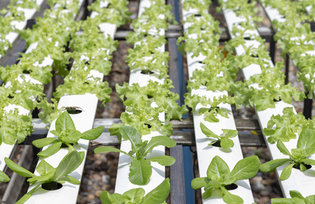 Vegetable organic hydroponic cultivation at farm 写真素材