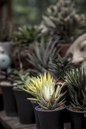 Cactus (Haworthia limifolia marloth) in pot
