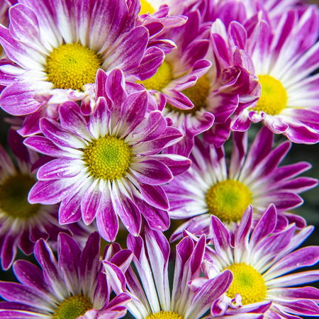 Close up of chrysanthemum flower blooming in the garden