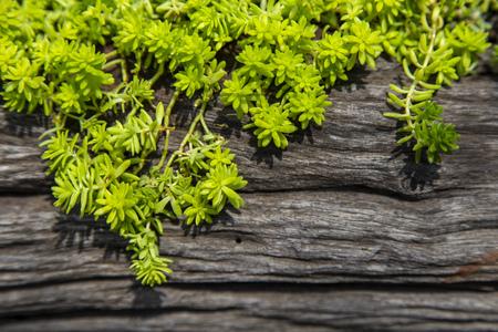 Green little leaf plant on wood log 写真素材