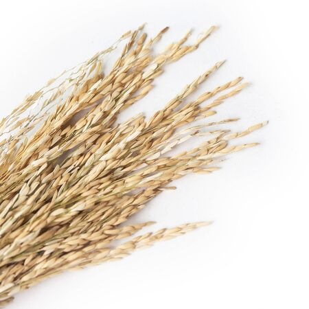 Dried paddy rice on the white table background