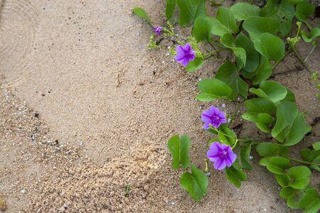 Goat's foot creeper or beach morning glory on sand Reklamní fotografie