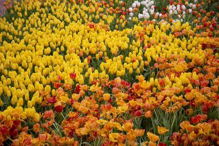 Group of tulip flowers blooming in the garden Standard-Bild