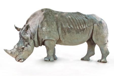 Rhino se hrubý vrásčitou kůži, stojící na bílém pozadí Reklamní fotografie - 19935327