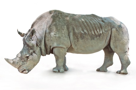 Rhino with rough wrinkled skin standing on a white background Stock Photo - 19935327
