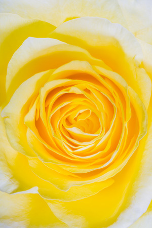 yellow rose macro petals swirling spiral closeup Stock Photo