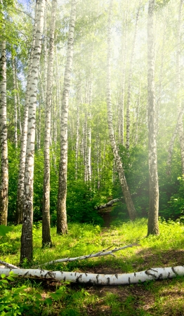 birch grove in the rays of light