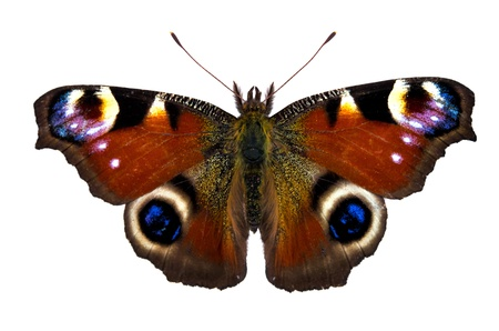European Peacock (Inachis-io) butterfly on white background Stock Photo