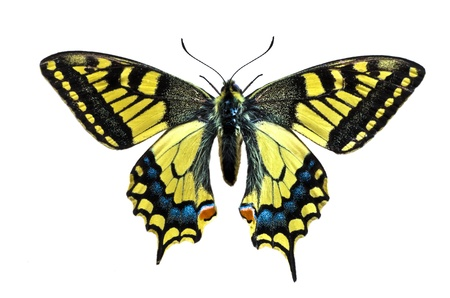 Old World Swallowtail  Papilio-machaon  butterfly on white background Stock Photo