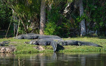 Alligator Gator Wildlife Everglades Florida