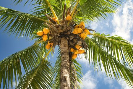 Coconuts on coconut tree, ripe and orange, green and immature, close-up Stock fotó