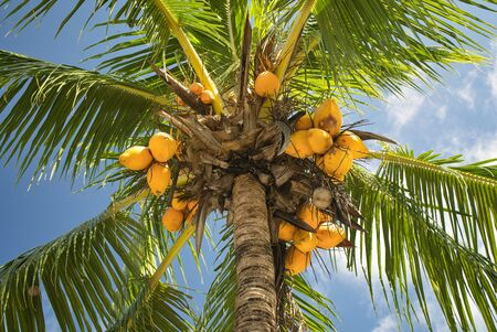 Coconuts on coconut tree, ripe and orange, green and immature, close-up