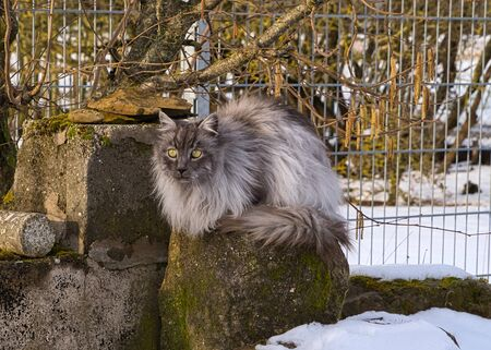 Turkish Angora cat with gray long hair and green eyes in the snow in winter in the garden
