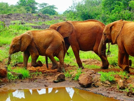 Baby elephants in the jungle in Africa, Nairobi 免版税图像