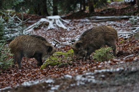 Wild boar boar pack eating in the forest in winter