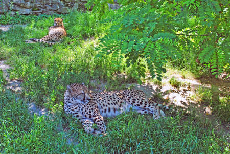 Two leopards are resting in the grass in the shade of trees