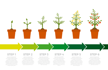 Vector infographic of plant growth stages. Tree with green leaf and red fruit. Illustration of planting vegetables on white background.