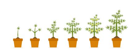 Vector illustration flat design of cannabis plant growth stages in ceramic pot. Hemp with green leaf. Planting of medical marijuana