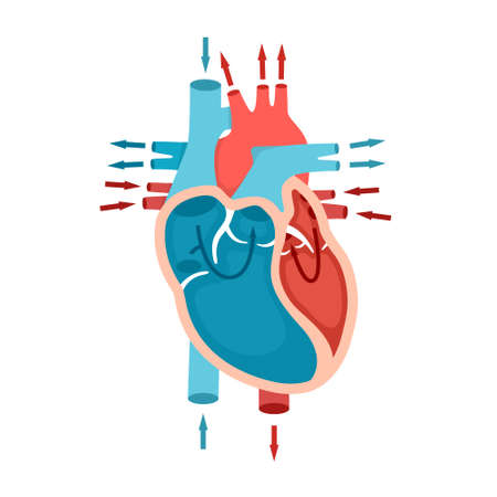 Human heart anatomy with blood flow. Circulation of blood through the heart. Cardiology concept.