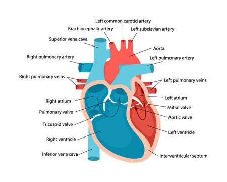Heart anatomy close-up with descriptions. Educational diagram with human heart cross-section illustration.