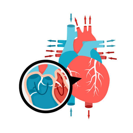 Close-up blood circulation in the heart. Human heart anatomy with blood flow. Human internal organ illustration. Vector Illustration