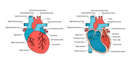 Anatomically correct heart with descriptions. Human heart anatomy with cross-section and non-cross view.