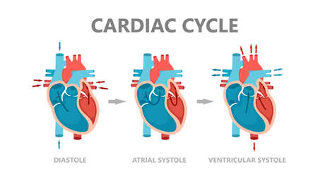 Phases of the cardiac cycle - diastole, atrial systole and atrial diastole. Circulation of blood through the heart. Human heart anatomy with blood flow. Vector Illustration