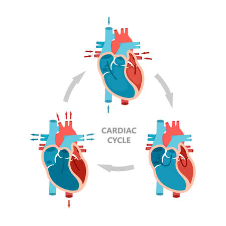 Phases of the cardiac cycle - diastole, atrial systole and atrial diastole. Heart anatomy diagram with blood flow. Vector Illustration