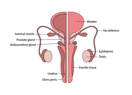 Vector male human reproductive system with description in English on white background
