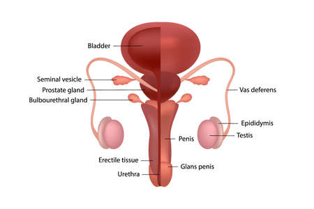 Male human reproductive system with organ names in English on white background