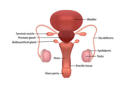 Male human reproductive system with description of organs on white background