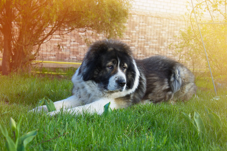 caucasian shepherd: Caucasian Shepherd on the green grass in a yard. large adult dog on the green grass in a yard