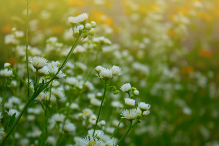 Pretty white flowers blooming in a garden white small chrysanthemum pretty white flowers blooming in a garden white small chrysanthemum stock photo picture and royalty free image image 46783217 mightylinksfo