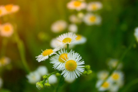 yellow stamens: Pretty White Flowers Blooming in a Garden. White small chrysanthemum mum flower. Camomile field, many small white petals and yellow stamens flowers on a meadow Stock Photo