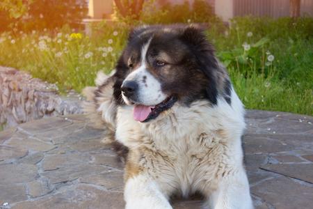 caucasian shepherd: Caucasian Shepherd, a large guard dog
